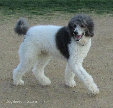 A gray and white Standard Poodle is walking across a dirt surface, its mouth is open, it looks like it is smiling and it is looking to the left.
