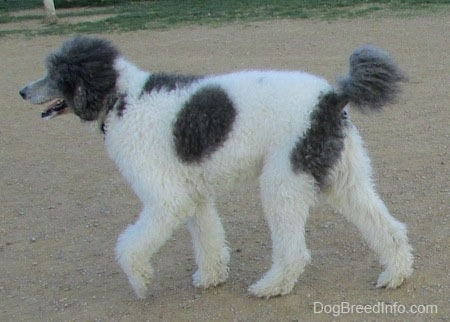 The left side of a gray and white Standard poodle dog walking across a dirt surface.