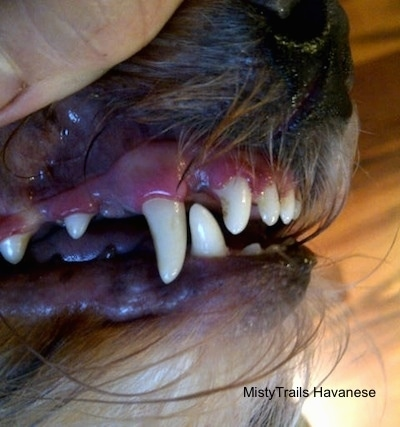 Close up - A person is using their hand to lift the lip of a dog and to expose its clean teeth.