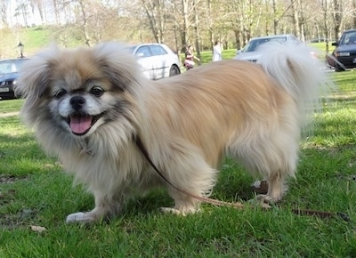 The front left side of a fluffy tan with black and white Tibetan Spaniel is standing across a grass surface, it is looking forward, its mouth is open and its tongue is sticking out. The dog looks happy.