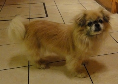 The front right side of a tan with black and white Tibetan Spaniel is standing across a tiled floor and it is looking forward. Its tail is being held low.