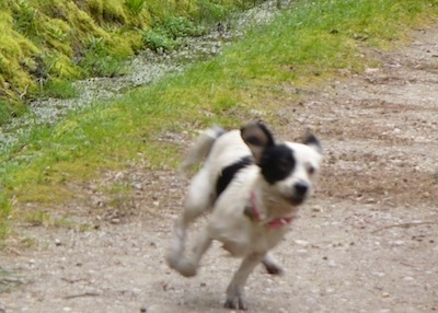 Action shot - A white with black Toy Fox Beagle dog running down a dirt path. The dogs ears are flapping around and two of its paws are in the air.