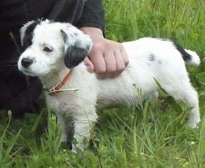 The left side of a small white with black Toy Fox Beagle puppy standing in grass looking to the left. There is a person kneeling behind it and rubbing its back. The dogs legs and under belly looks wet from the tall grass.