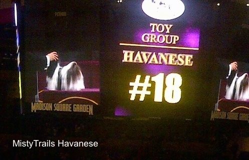 A picture of the big screen at Madison Square Garden saying Toy Group Havanese Number 18.