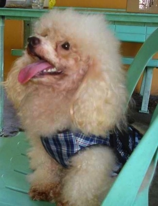 Wacky the Toy Poodle at 2 years old