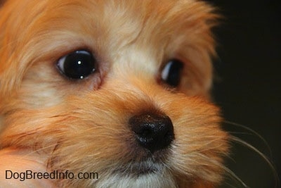 Close Up face shot - A Toy breed dog is looking to the right