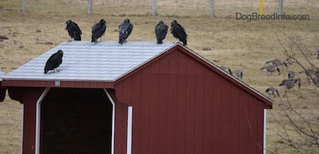 Backside of Black Vultures sitting on a barn with lots of geese in the background