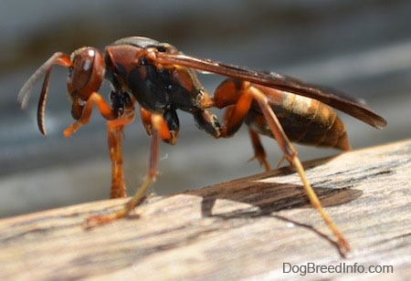 Right Profile Close Up - Paper Wasp on a wooden surface