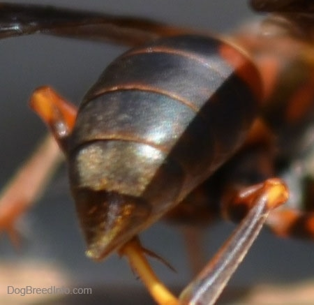 Close Up - Paper Wasp's Stinger