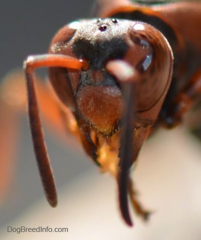 Close Up - Paper Wasp Head