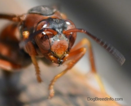 Close Up - Paper Wasp head in the air