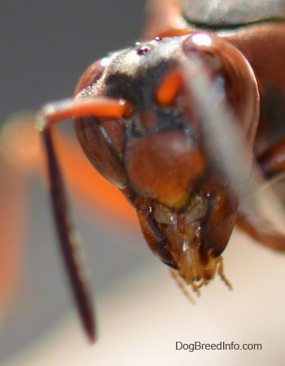 Very close up shot of paper wasp head in the air