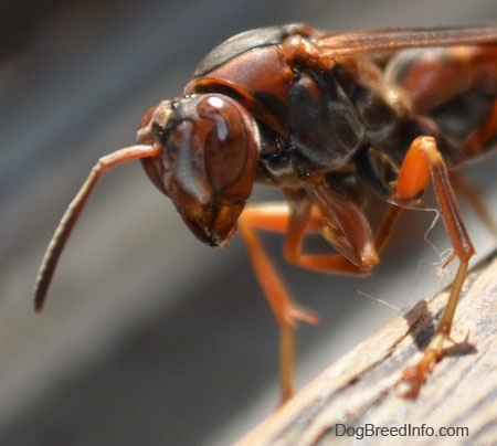 Front end of a paper wasp on a wooden surface