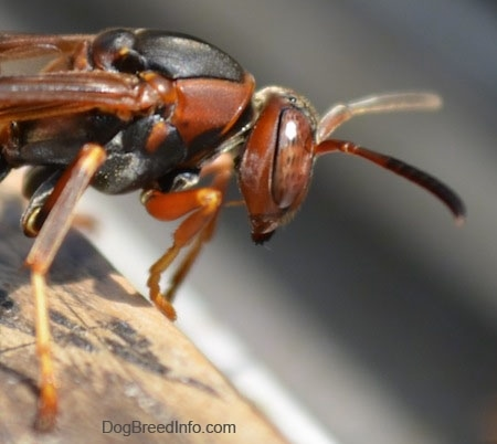 Left Profile - Front end of a paper wasp on a wooden surface