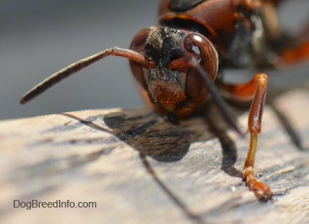 Paper Wasp head on a wooden surface