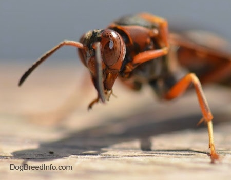 Close up view of the front end of a paper wasp