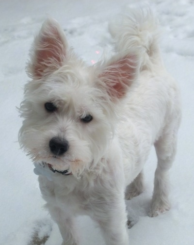 A small white Wee-Chon dog is standing outside in snow. It is looking forward and its head is tilted to the right. The dog has soft wavy hair, perk ears, a beard on its face, a black nose, round black eyes and a tail that curls up over its back.