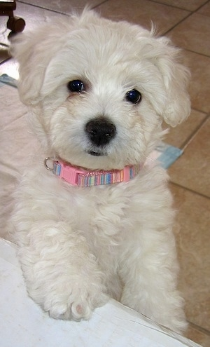 A white Wee-Chon puppy with a pink collar that is jumped up against a table and it is looking forward. The pup has a large black nose, black lips and round dark eyes.