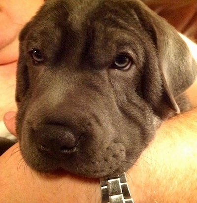 Close up - The face of a gray Weim-Pei puppy that is laying in the arm of a person. The dog looks sleepy.