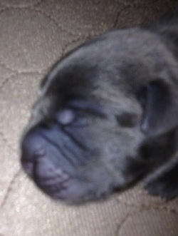 Close up - A dark gray Weim-Pei puppy that is sleeping on a rug.
