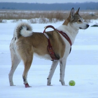 The right side of a brown and white West Siberian Laika that is standing on a snowy plain. There is a tennis ball in front of it and it is wearing a red harness. It has perk ears and a tail that curls up over its back.