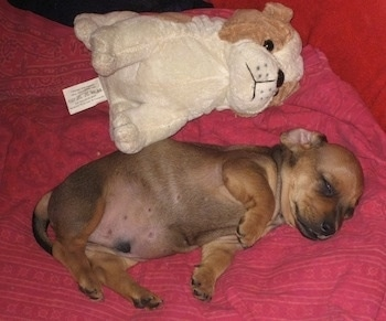 Subbu the Dachshund Puppy laying on a bed next to a plush toy of a dog