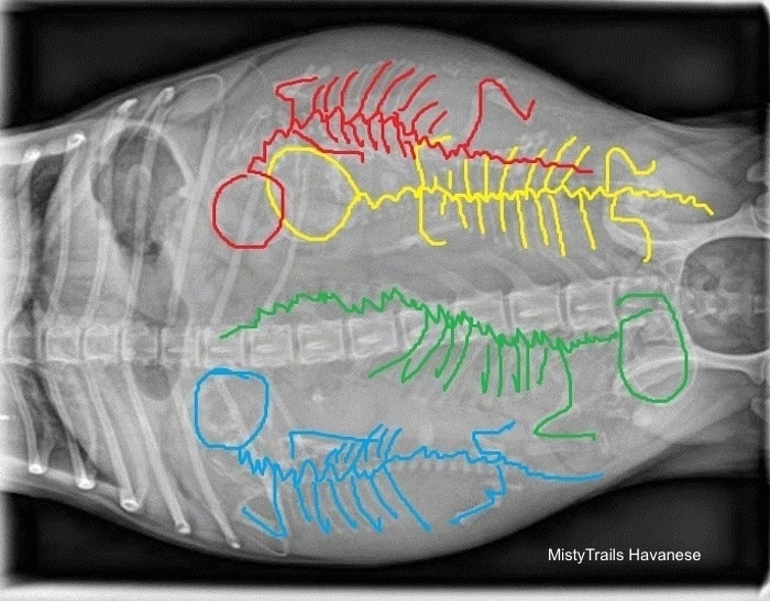 Top Down - X-ray of  four puppy skeletons with outlined