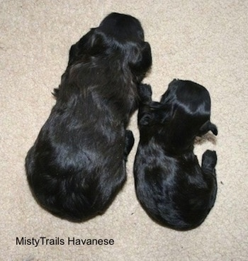 Two puppies laying on a carpet next to each other, one is a lot smaller than the other