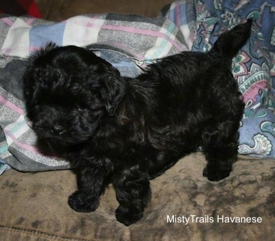 Puppy shown here at 8 weeks old standing on the floor with a blanket behind her