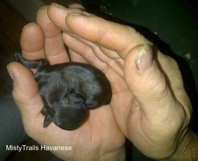 Close Up - Puppy born very small is in the hands of a person