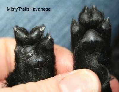 Right Paw has the normal amount of toes and the left has one less toe