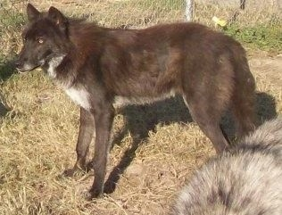 The left side of a black Wolfdog that is standing in grass and it is looking to the left. It has golden eyes and small perk ears.