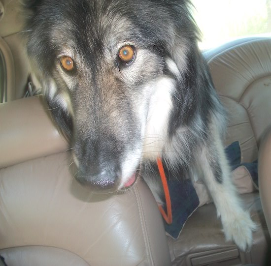 Close up  head shot - A black with tan Wolfdog that is sitting in the backseat of a vehicle. Its eyes are golden brown and its nose is black.
