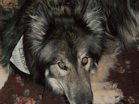 Close up head shot - A black with tan Wolfdog is laying on a floral rug and it is wearing a bandana that says 'Lakota'. It has light brown eyes.
