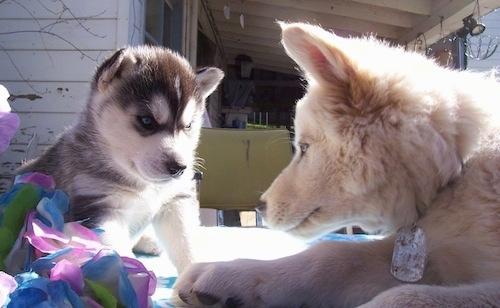 A Wolf hybrid puppy is laying on a rug across from a tan Wolf Husky. Both dogs have thick coats and blue eyes.
