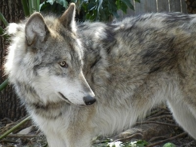 The left side of a grey and white Wolf Dog that is in front of a wooden fence looking to the right. It has yellow eyes, perk ears and a thick gray coat, a long snout and a black nose.
