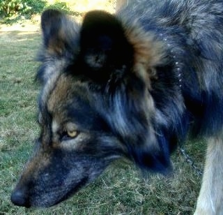 Close up - The left side of a black and tan Wolfdogs face that is walking across grass. It is holding its head low and its eyes are golden yellow.