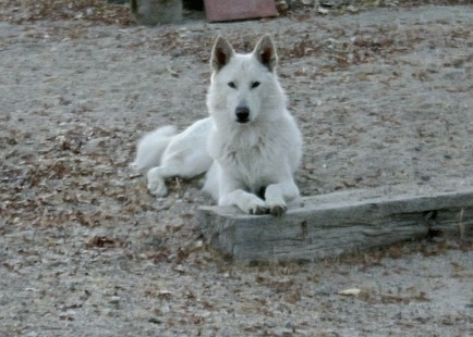 A white German Shepherddog/Husky mix is laying in a dirt field and its front paws are on a log. It has small perk ears and dark slanty eyes.