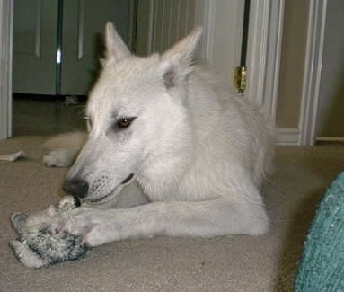 A white Wolfdog is laying on a carpet and it is looking down at a toy in between its front paws. Its large perk ears are pinned back.