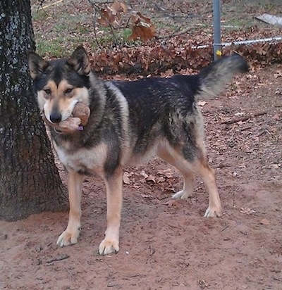 Cheyenne the German Shepherd/Malamute mix at 4 years old in her winter coat.