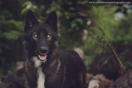 Close up - A black with white Wolfdog is looking forward and its mouth is open. The Wolfdog is standing in the woods and its eyes are glowing yellow.