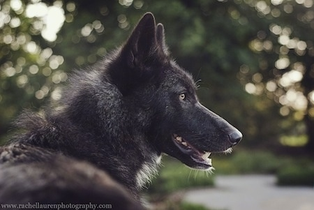 Side view head shot of a Wolfdog that is looking to the right with its mouth open. Its nose is black and its eyes are yellow.