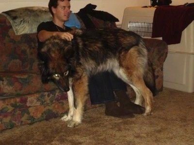 The left side of a Wolfdog that is standing on a carpet and leaning against a persons leg that is sitting on a couch. It is holing its head low and its eyes are yellow.