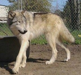 The left side of a thick coated Wolfdog that is walking across a dirt surface and there is a chainlink fence behind it. It is looking to the right. Its nose is black and its tail is being held low.