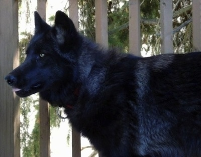 The left side of a black Wolfdog that is standing in front of a wooden porch.