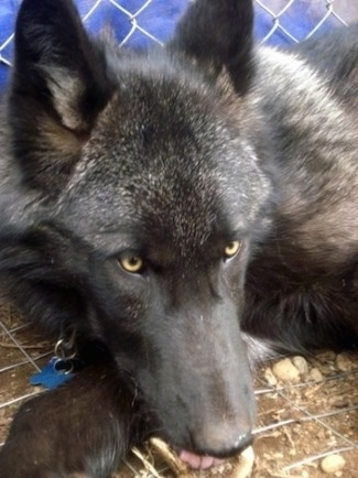 Close up - A black Wolfdog is laying down in a cage and it is looking forward. It has golden brown eyes.
