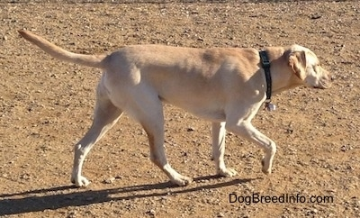 A yellow Labrador Retriever is walking across dirt. Its front paw is in the air and its tail is level with its body.