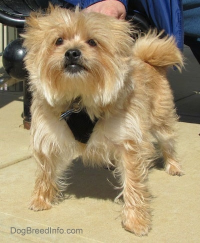 Front view of a furry tan small dog with a black nose and dark eyes wearing a black harness with a person holding its collar.