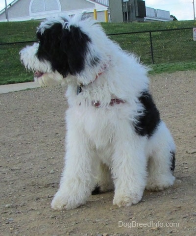 The front side of a large white and black Yorkipoo dog standing on a dirt surface looking to the left.