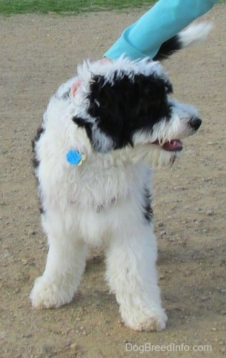 Front view - A  thick-coated, white and black Yorkipoo is standing on a dirt surface and it is looking at the person to its right, who is touching its back.